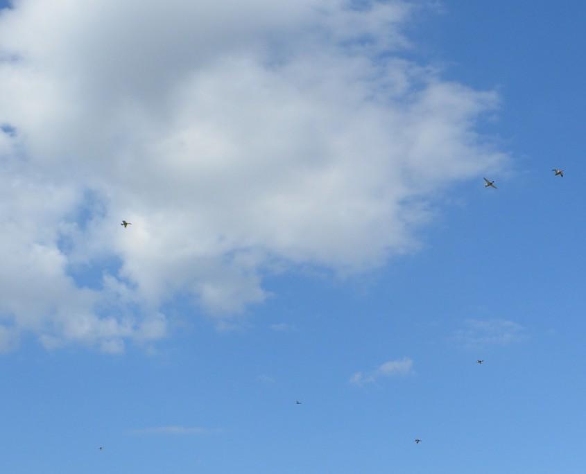ducks fly
